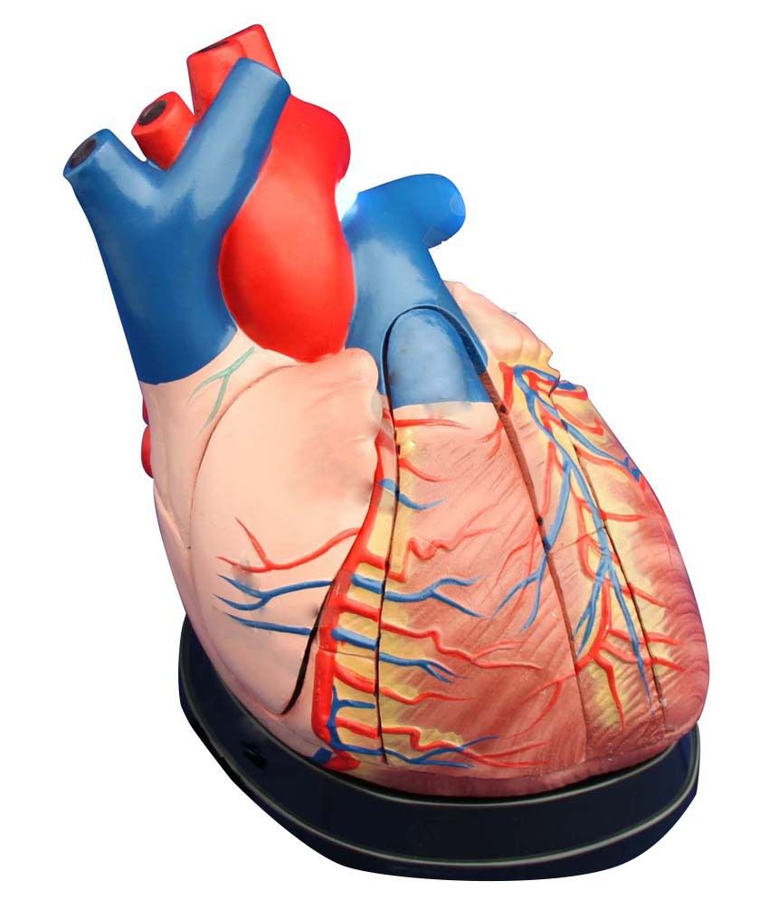 Ga Instruments Pvt Ltd Fiber Red Human Heart Anatomy Model Buy