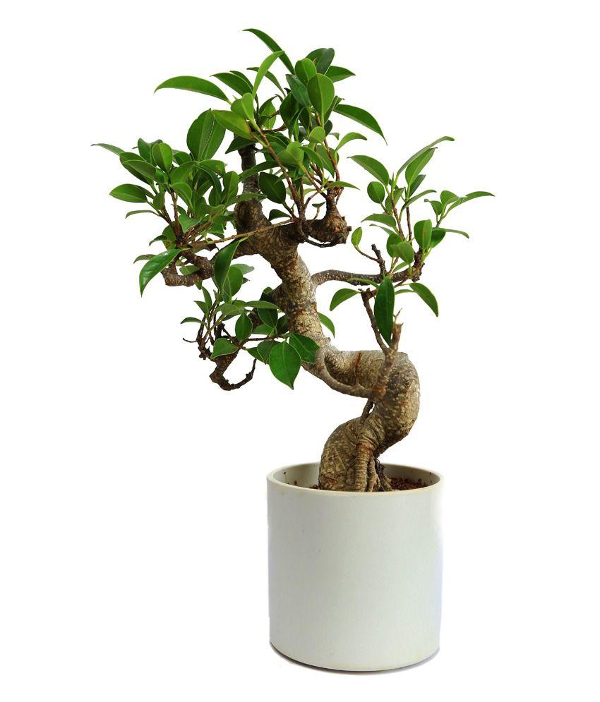 Nurturing green indoor green plants s shape ficus 3 year for Indoor green plants images