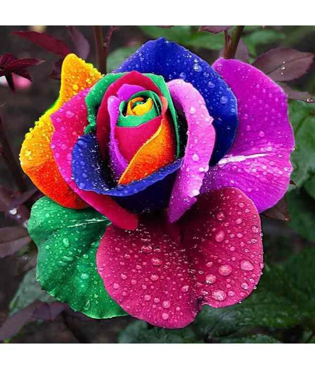 Neha Beautiful Rainbow Rose Multi colored Rose Flower 25 Seeds