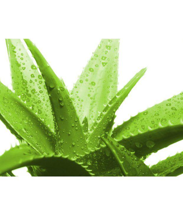 Seedlings India Aloe Vera Live Plant