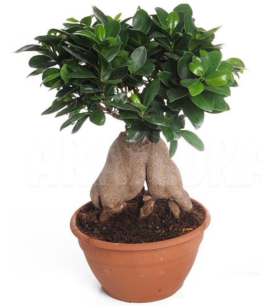 Mpro-tech Mixed Colour Ficus Ginseng Banyan Tree Bonsai Seed