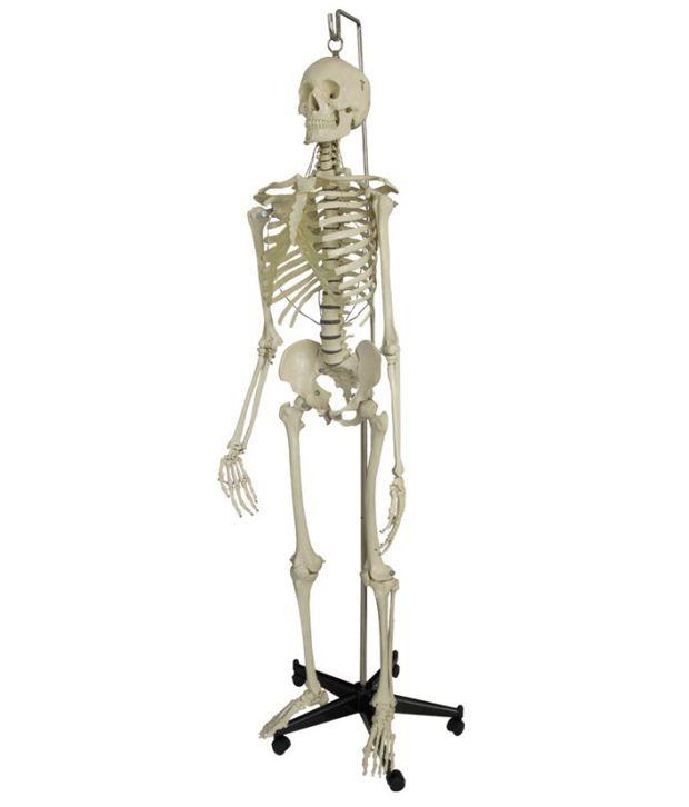 jainco human skeleton: buy online at best price in india - snapdeal, Skeleton