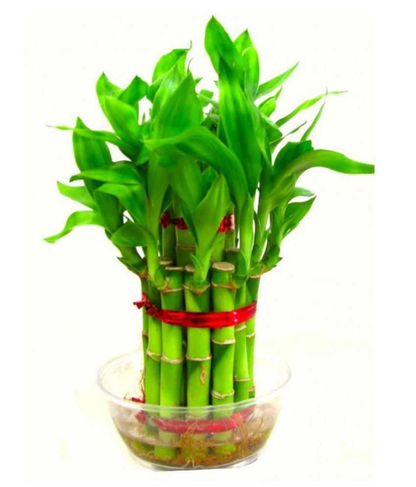 Green Plant Lucky 2 Layer Bamboo Plant / Bonsai Tree (Indoor & Outdoor  Plant)