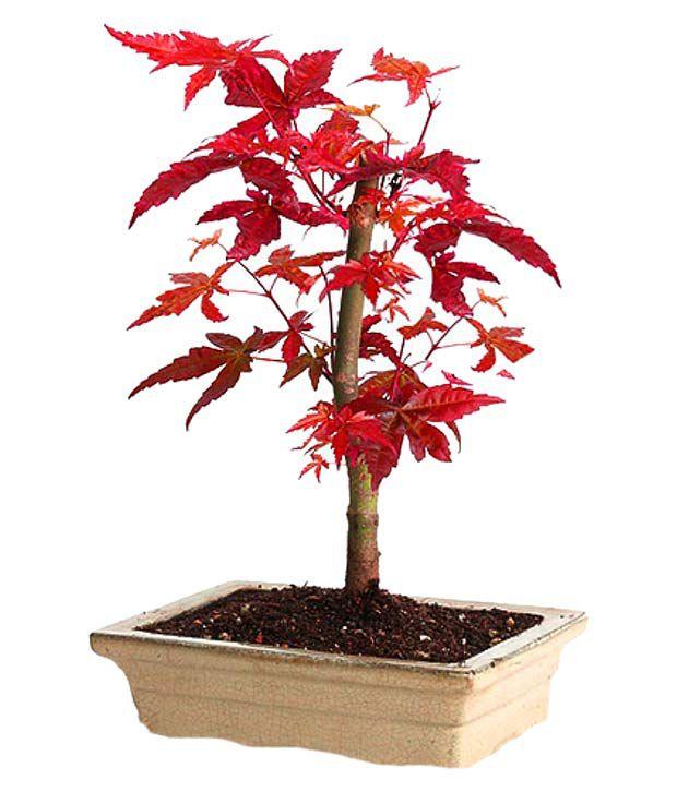 Futaba Canada Mini Red Maple Seeds Flower Seeds Buy Futaba Canada