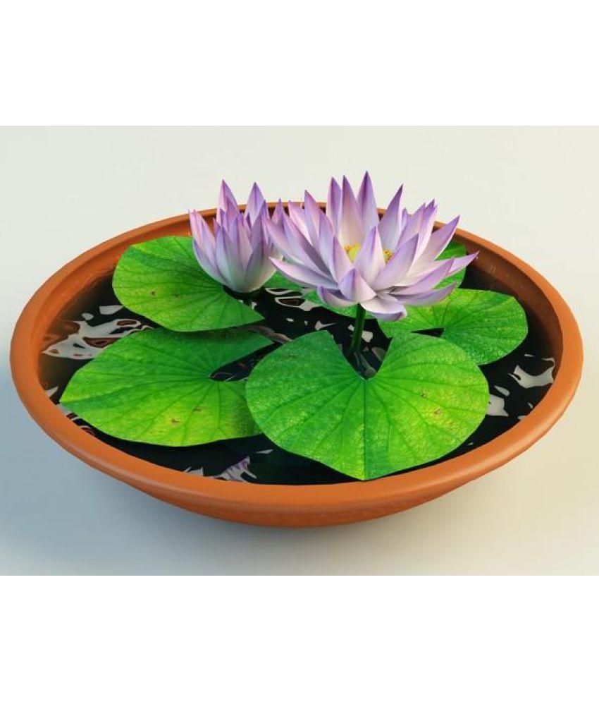 National Gardens Lotus Flower Nelumbo Nucifera Flower Seeds Buy