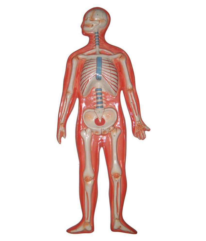 herindera human skeleton system: buy online at best price in india, Skeleton