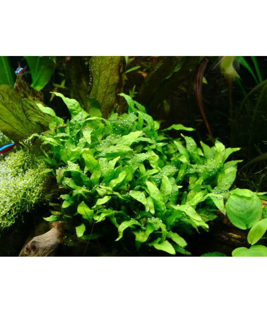 Big Leaves Grass Aquatic Plant seeds: Buy Big Leaves Grass