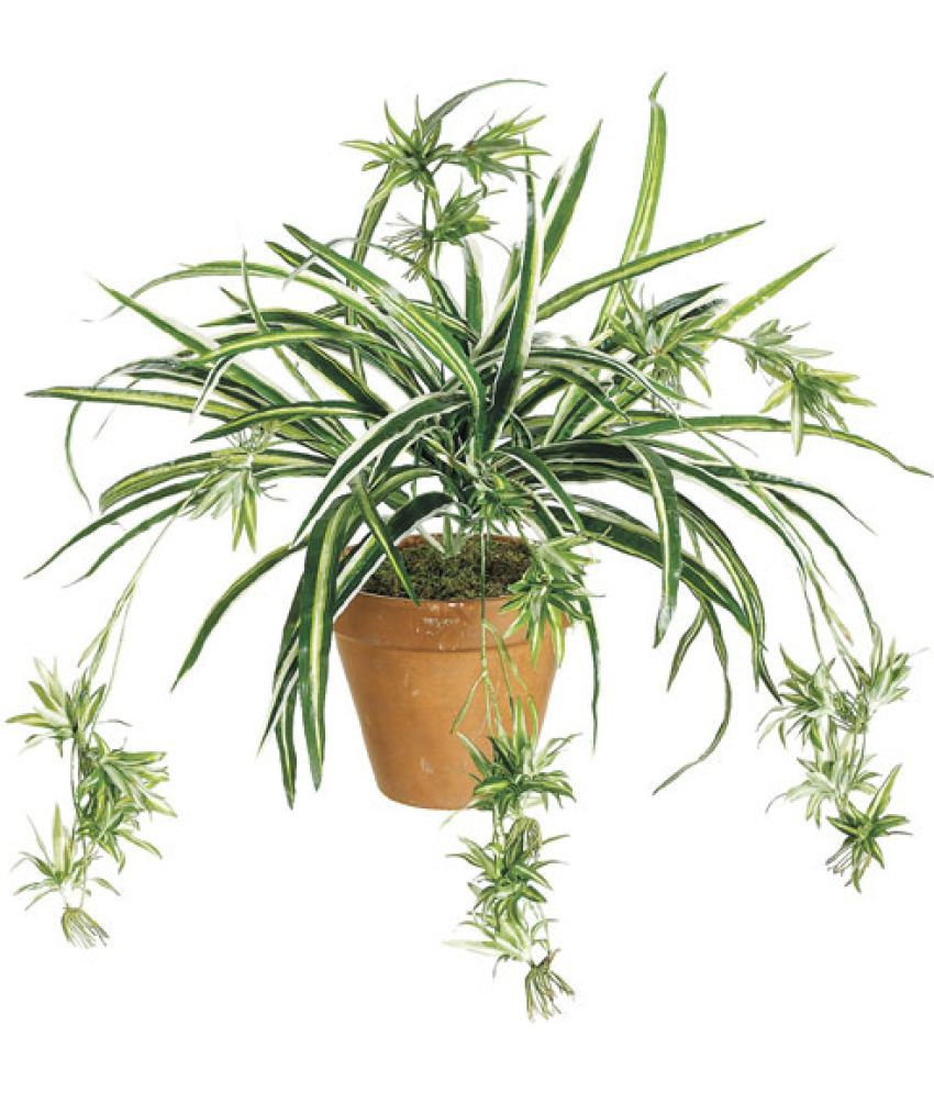 Growing Spider Plants Indoors: The Green Team Oxygen Bomb Live Spider Plant Both Indoor