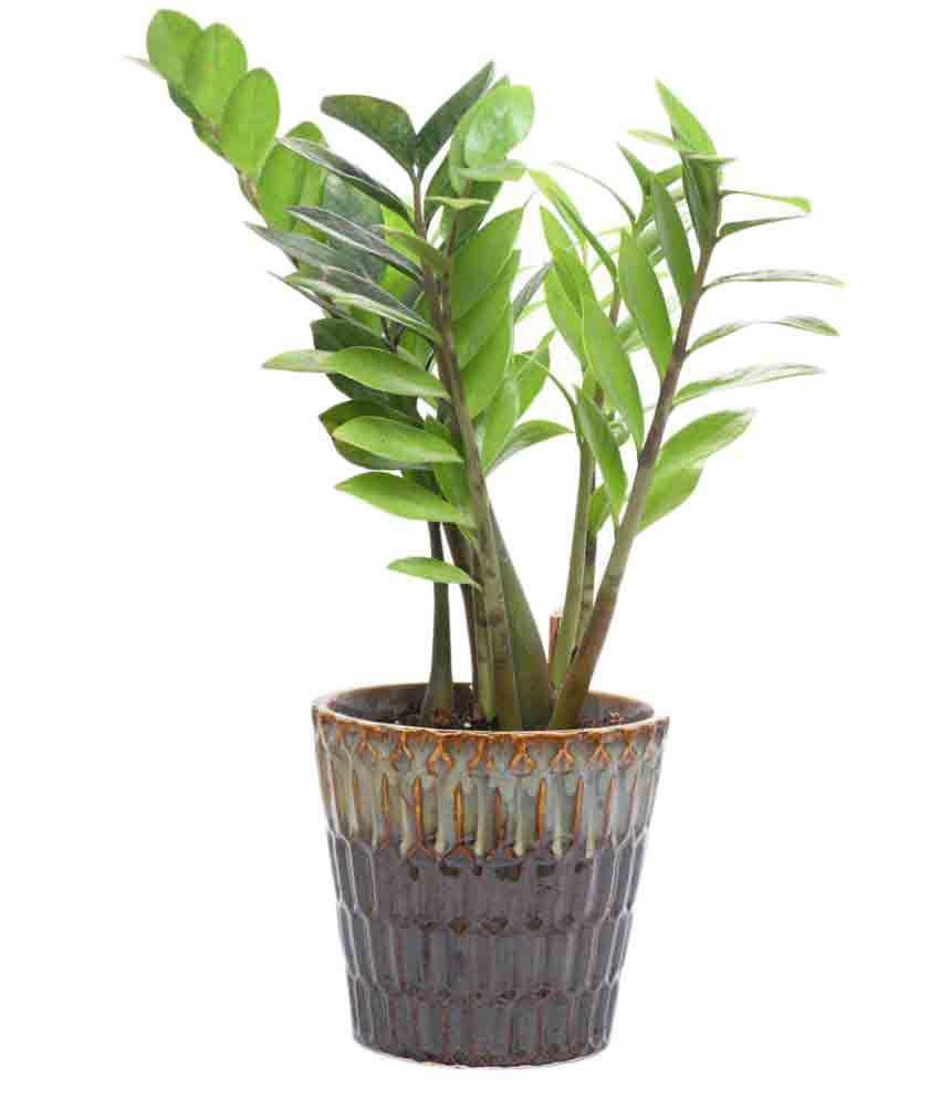 Nursery Indoor Plants Near Me: Sheel Greens Indoor Plant: Buy Sheel Greens Indoor Plant