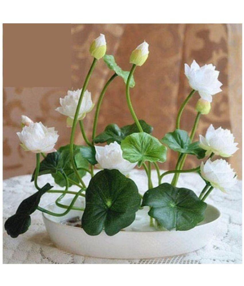 Airex Lotus Flower Seeds Buy Airex Lotus Flower Seeds Online At Low
