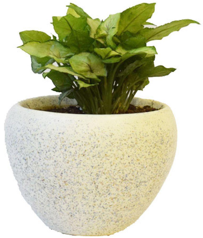Sheel Greens Indoor Plant