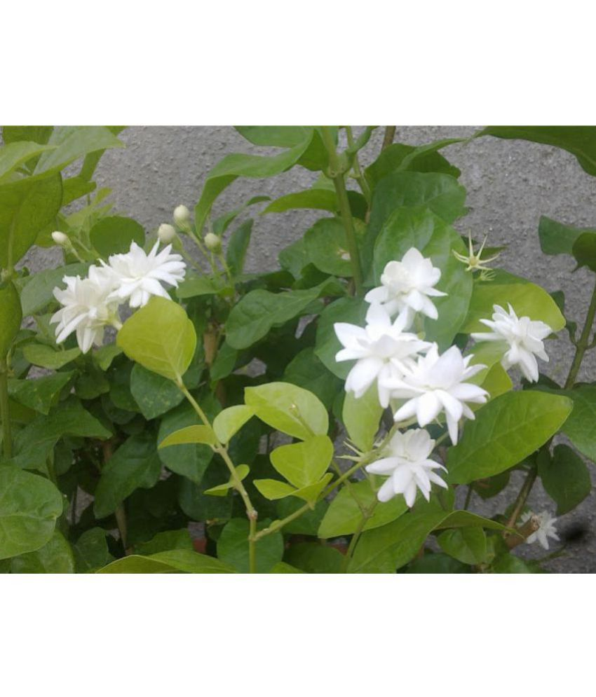 Ojorey jasmine mogra plant both flower plant buy ojorey jasmine ojorey jasmine mogra plant both flower plant izmirmasajfo