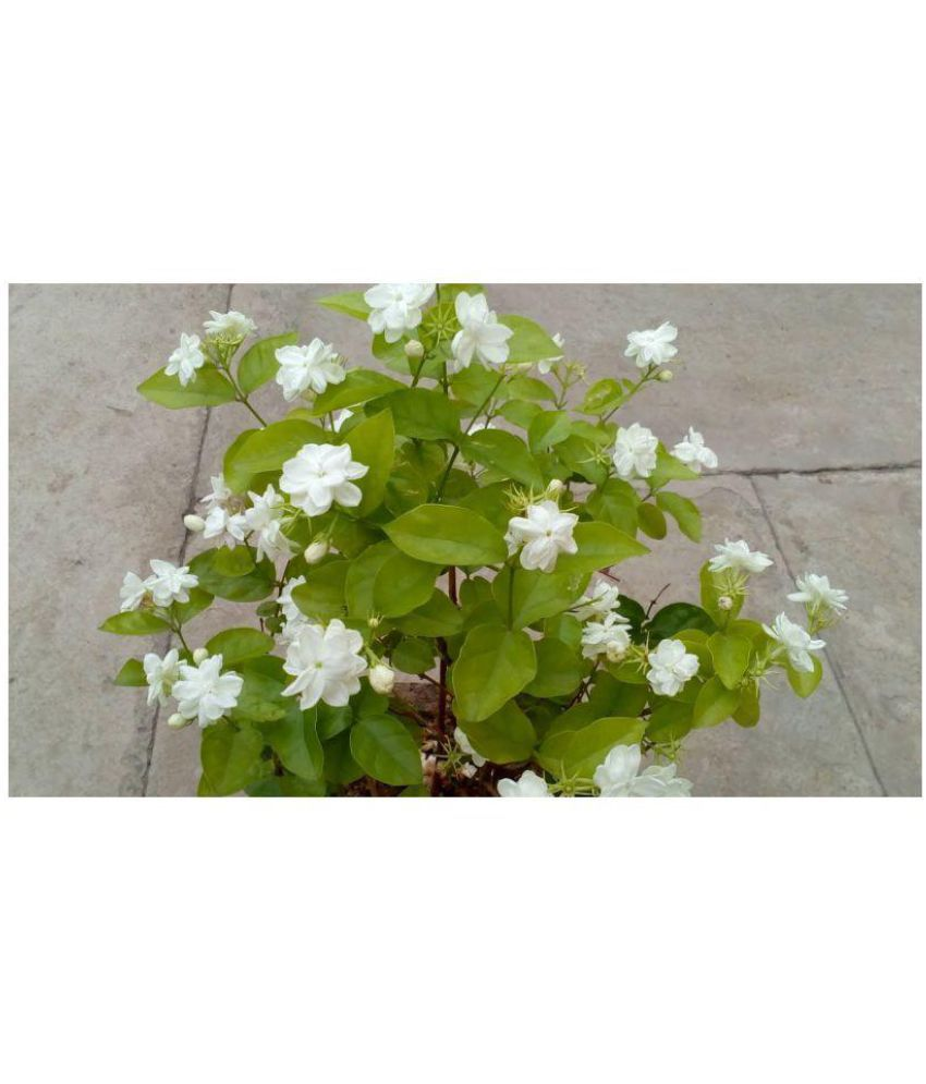 Ojorey Motia Jasmine Live Plant Both Flower Plant Buy Ojorey Motia
