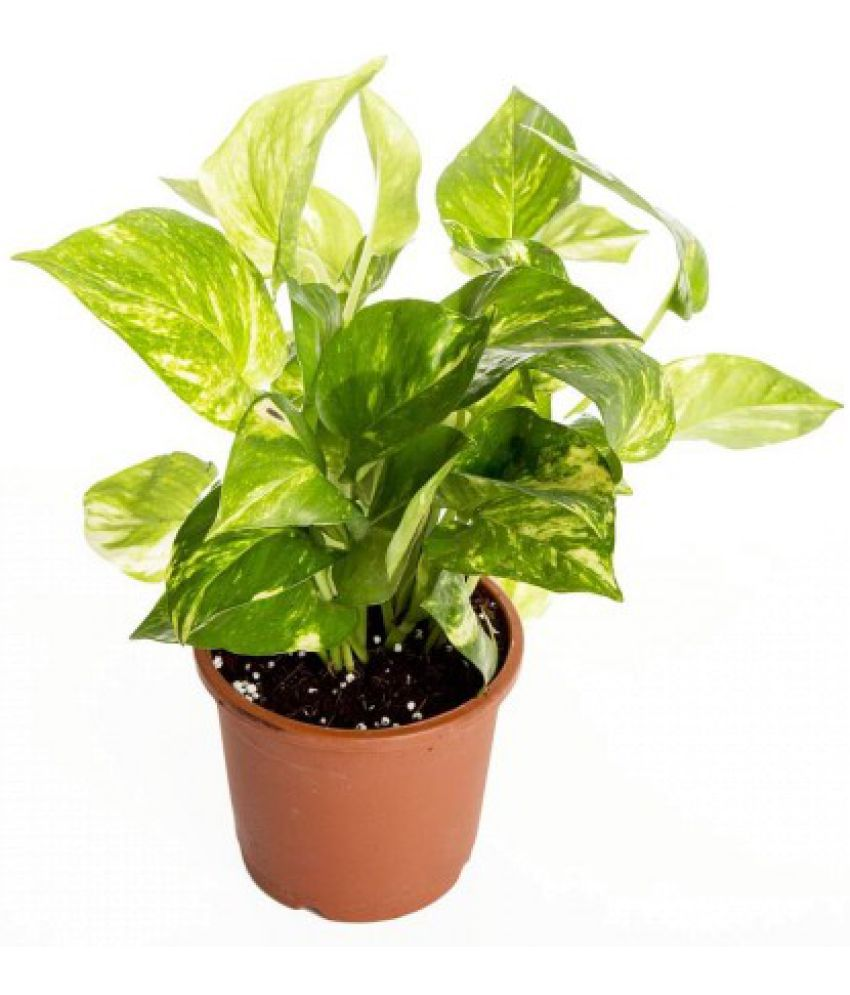 Live Nursery Money Plant for good luck and wealth Indoor Plant: Buy Live Nursery Money Plant for good luck and wealth Indoor Plant Online at Low ...850 x 995 jpeg 77kB