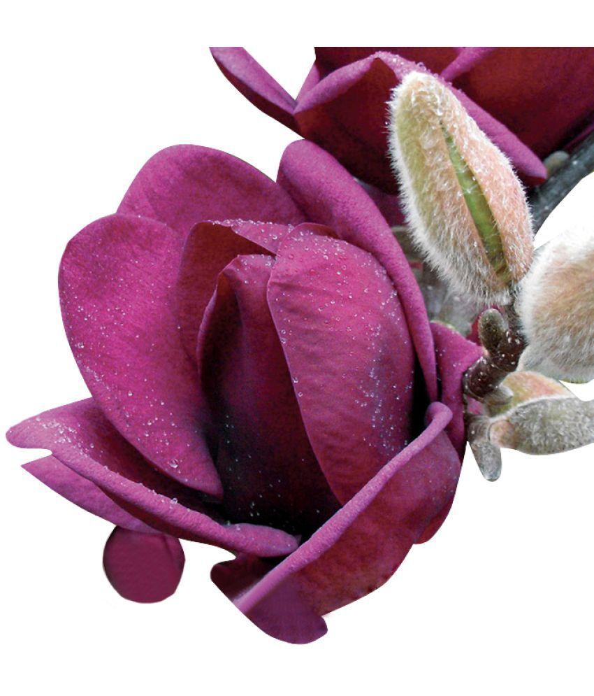 Dark Forest Hibiscus Flower Powder Price At Flipkart Snapdeal Ebay