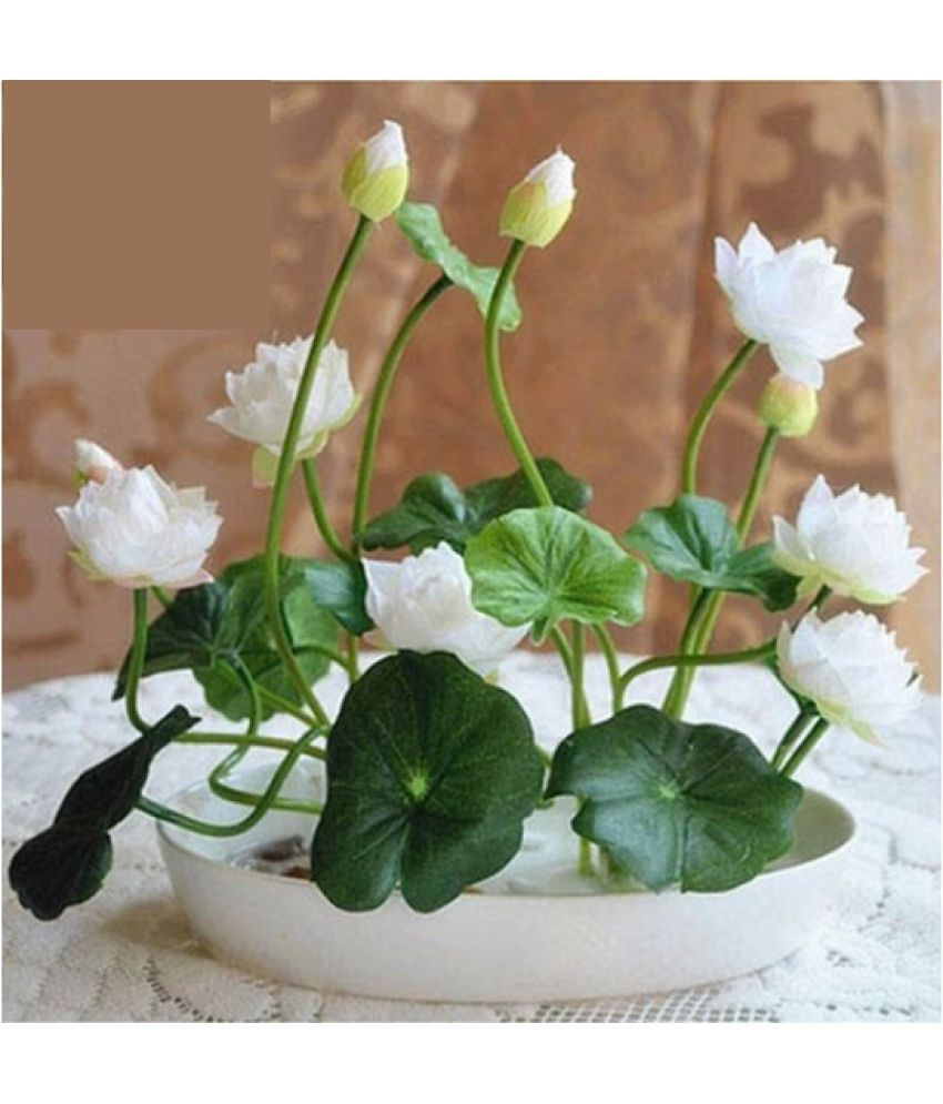 Airex Lotus Seed 88 Lotus Seed 2 Packet Of Lotus Flower Seeds