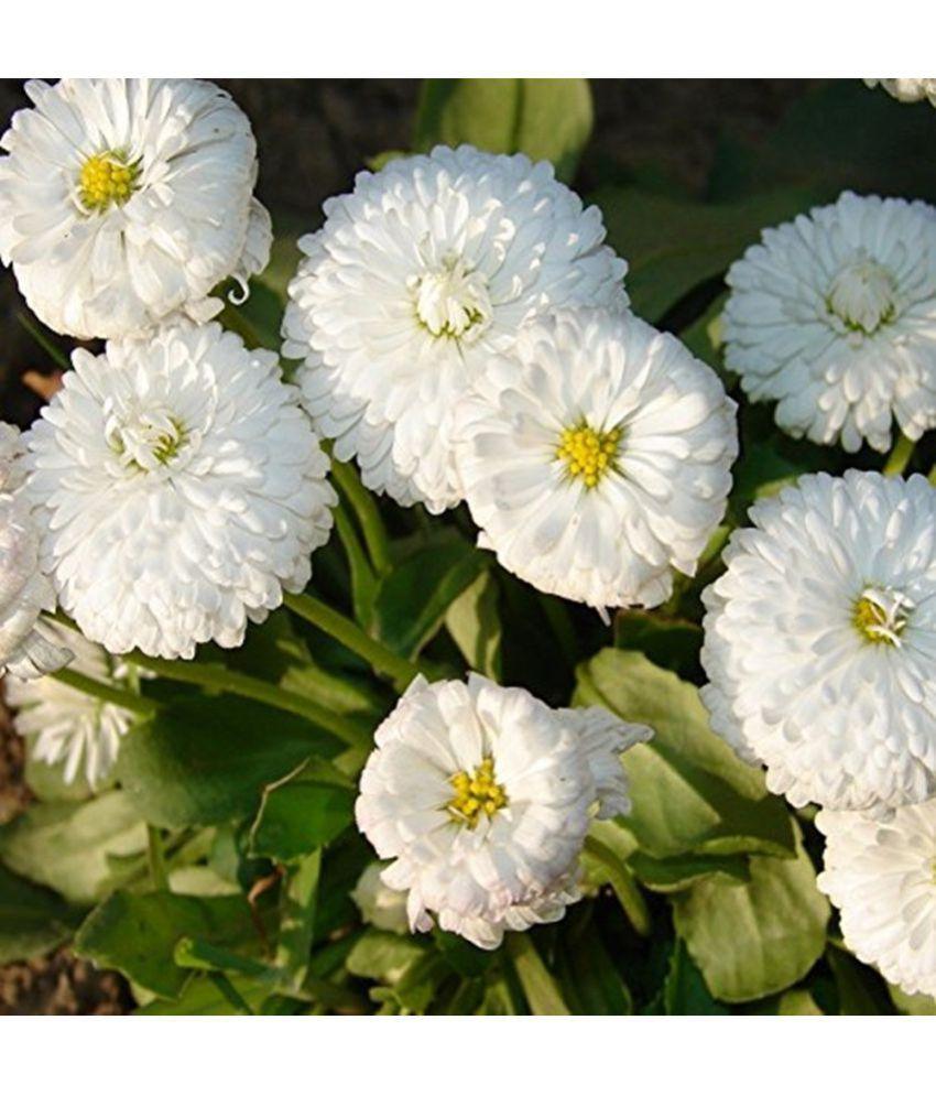Creative Farmer Daisy Monstrosa Double White Flower Seeds Buy