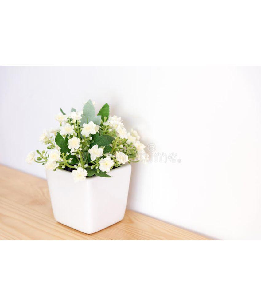 Ojorey Jasmine Healthy India Mogra Best Pot Indoor Flower Plant Buy