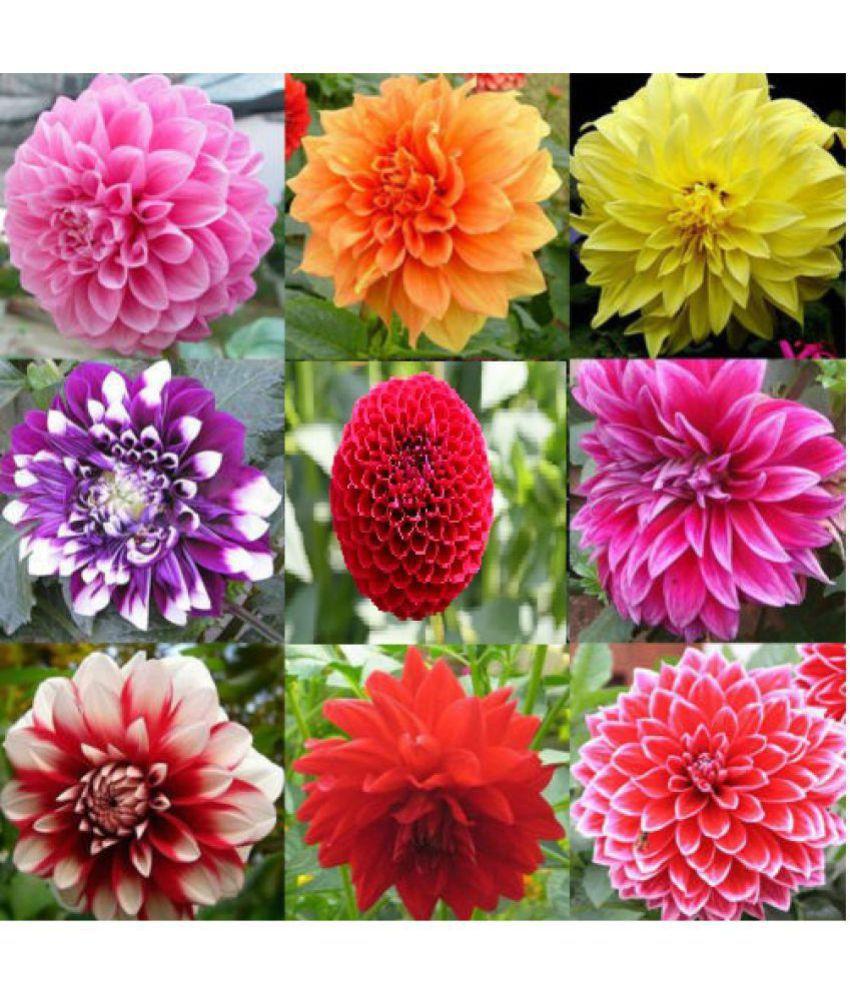 Dahlia Mix Color Flower Seeds: Buy Dahlia Mix Color Flower Seeds ...