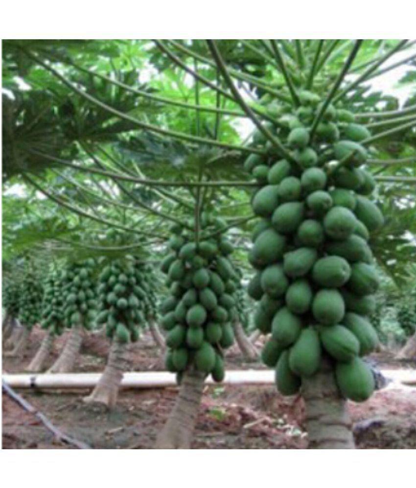 Creative Farmer Dwarfbonsai Papaya Fruit Seeds 20 Seedspack