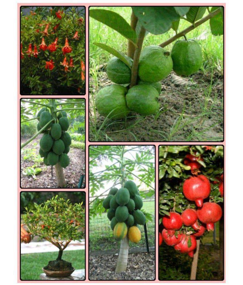 Azalea Gardens Bonsai Indoor Dwarf Fruit Seeds Combo Pack Guava