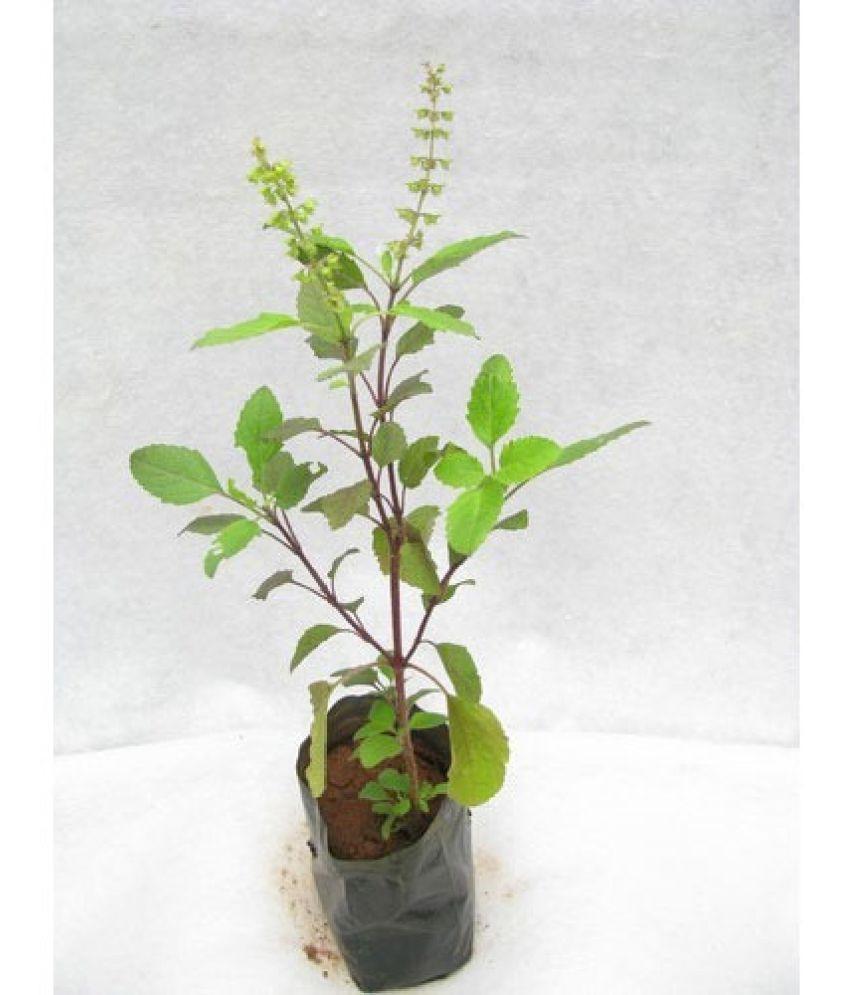 Free Scratch Cards >> Live Plant- Van tulsi Both Medicinal Plants: Buy Live ...