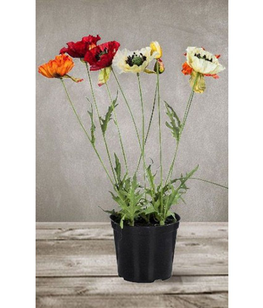 Flower Seeds Iceland Poppy Flower Seeds For India Gardening Seeds