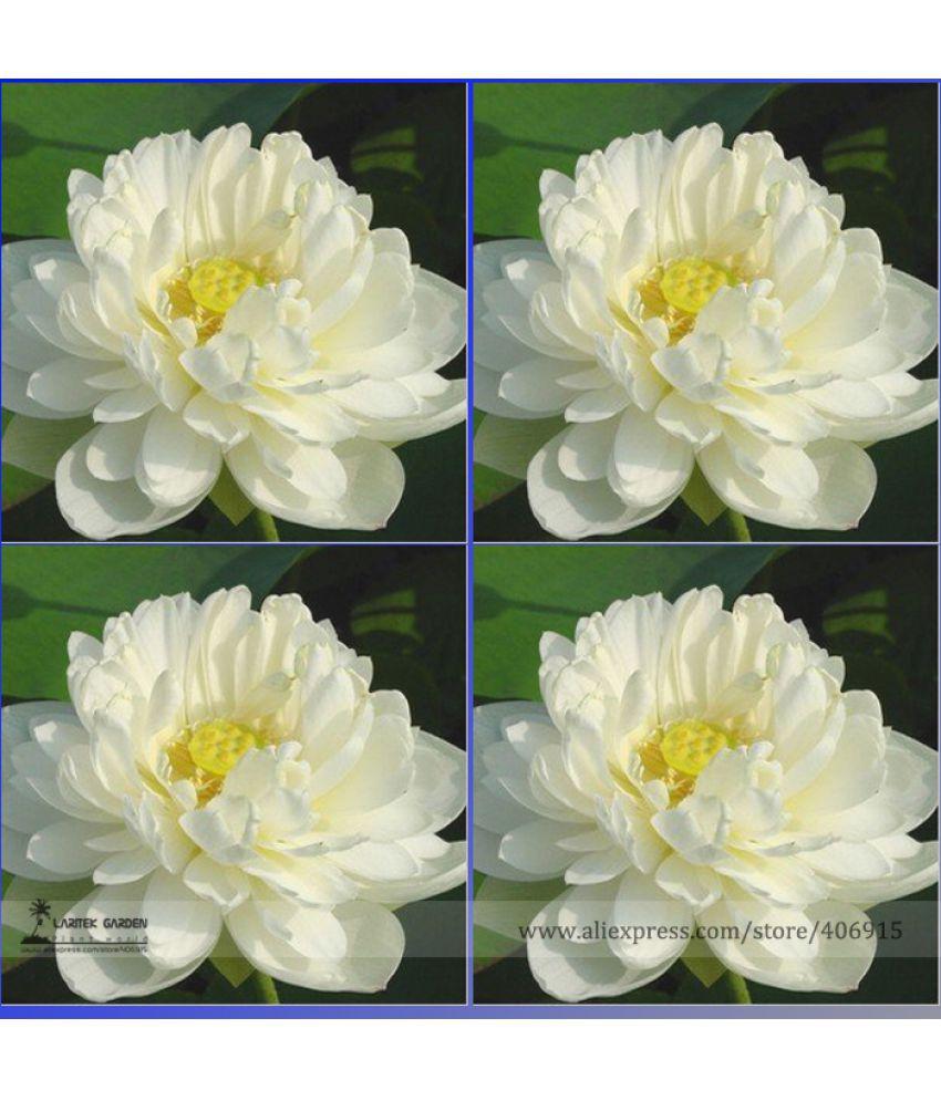 Flower Seeds White Lotus Seeds Seeds Hybrid 15 Seeds Seeds For