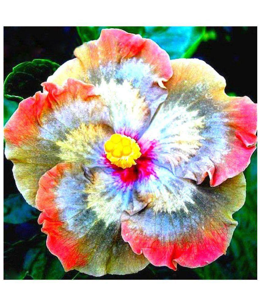 Nema Giant Hibiscus Flower Seeds Multi Color 50 Pcs Buy Nema