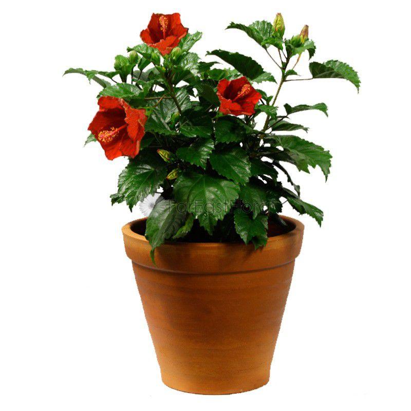 P Gardens Hibiscus Rosa Plant Gudhal English Flower Flower Plant