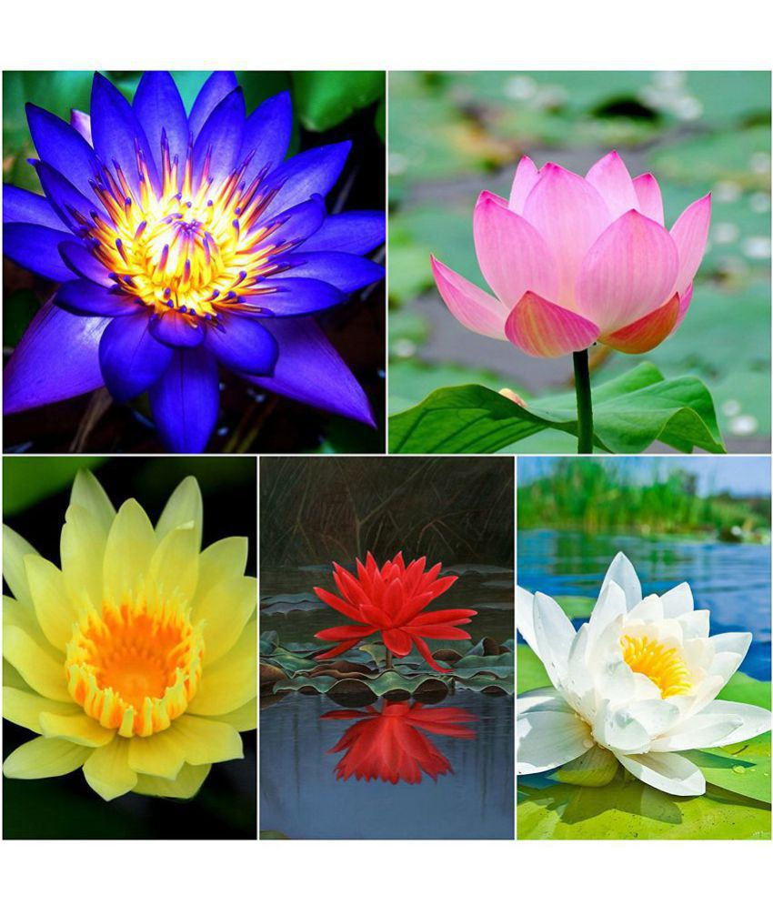 Flower Seeds Pink Lotus Flower Seeds Mixed Seeds Seeds For Kitchen