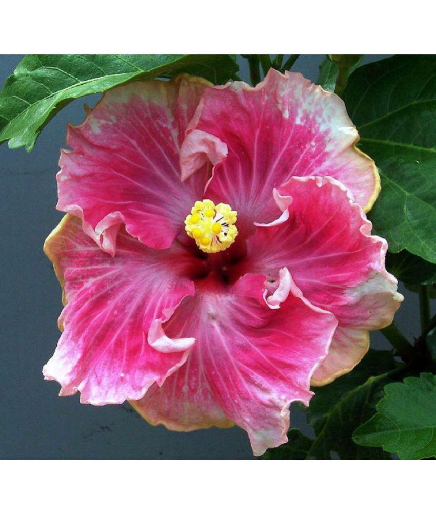 Ojorey Hibiscus Rosa Sinencis Live Flower Plant Best Pot Indoor