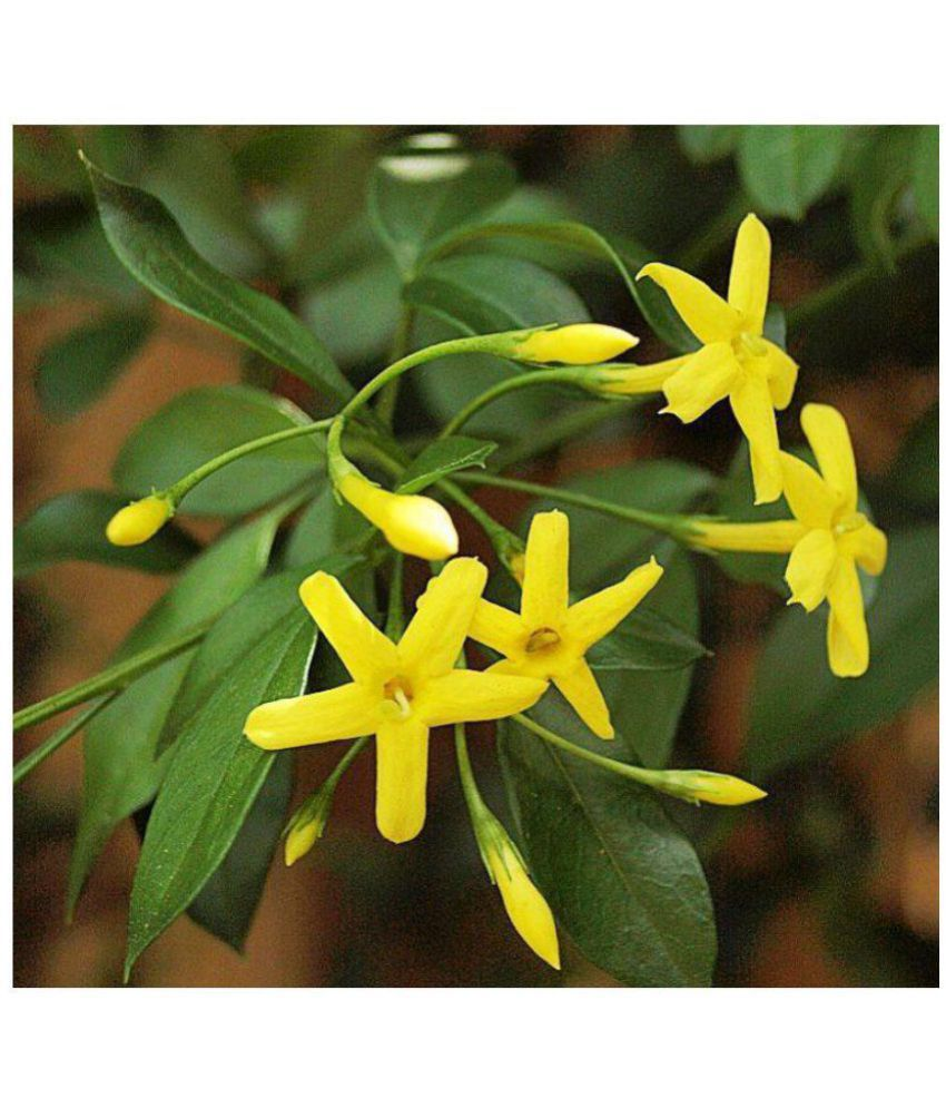 Vpn Live Jasmine Yellow Pili Chameli Jasminum Floridum Flower Plant