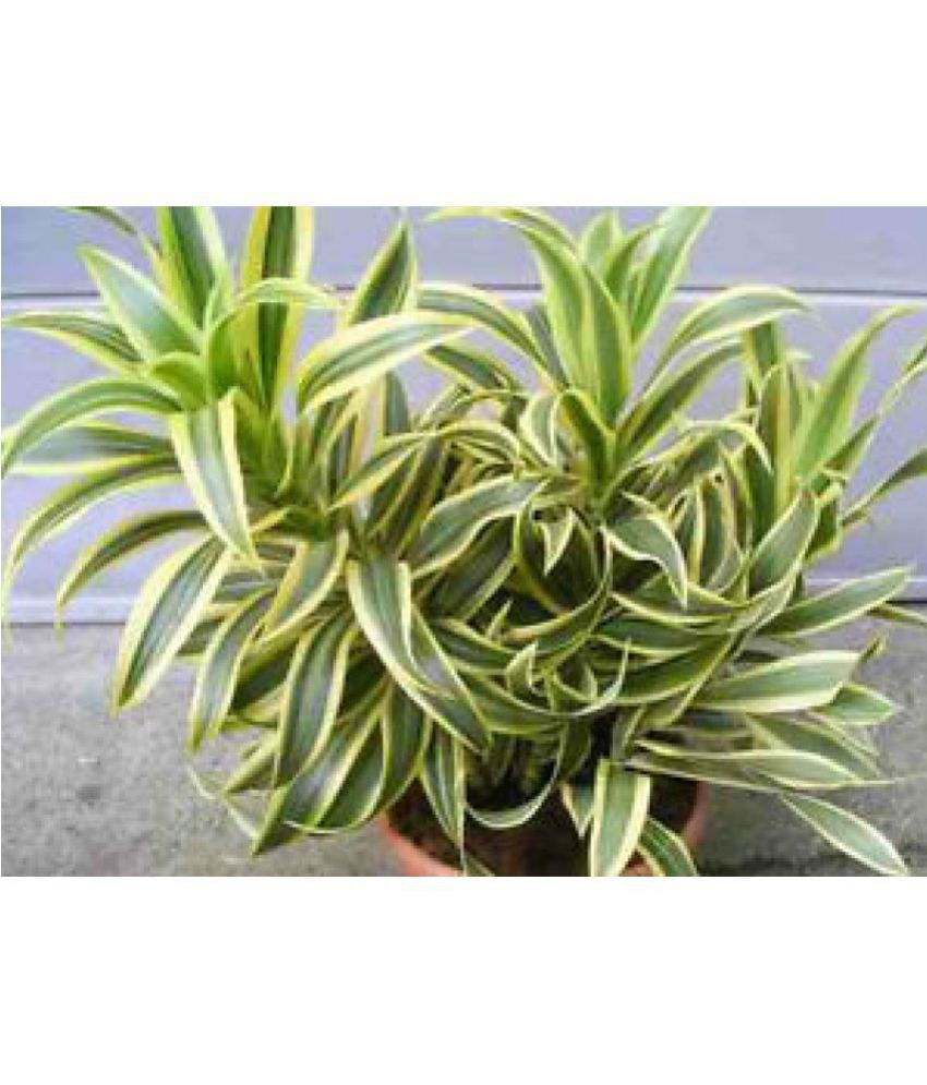 Eaglesford Dracaena Song Of India With Pot Indoor Plant Online At Low Price