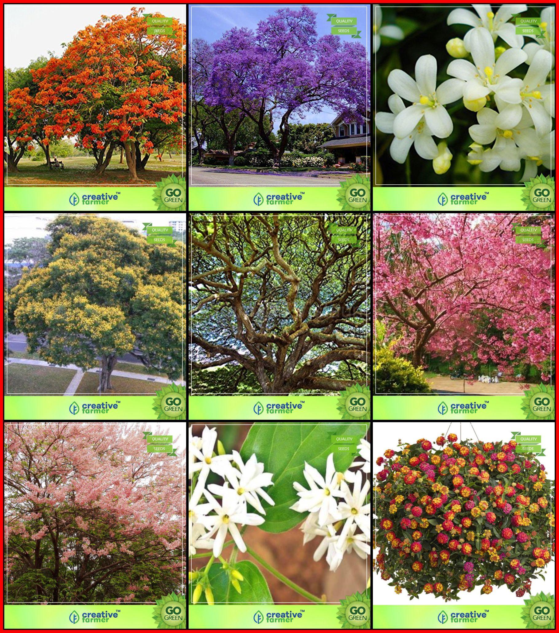 Gardening Seed Combo Tree Seeds Jacaranda Delonix Regia Orange