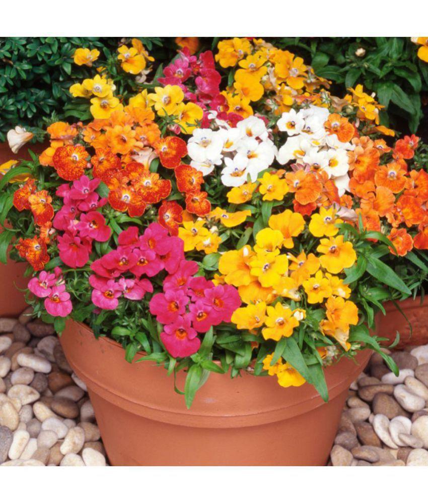 Amaxi flower seeds : nemesia sundrops mixed amaxi plugsb seasonal