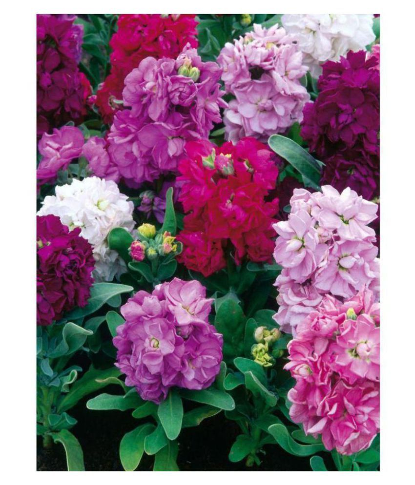 Alkarty Stock Flowers Mixed Flowers Seeds - Pack of 50 Premium Seeds with growing soil: Buy Alkarty Stock Flowers Mixed Flowers Seeds - Pack of 50 Premium ...