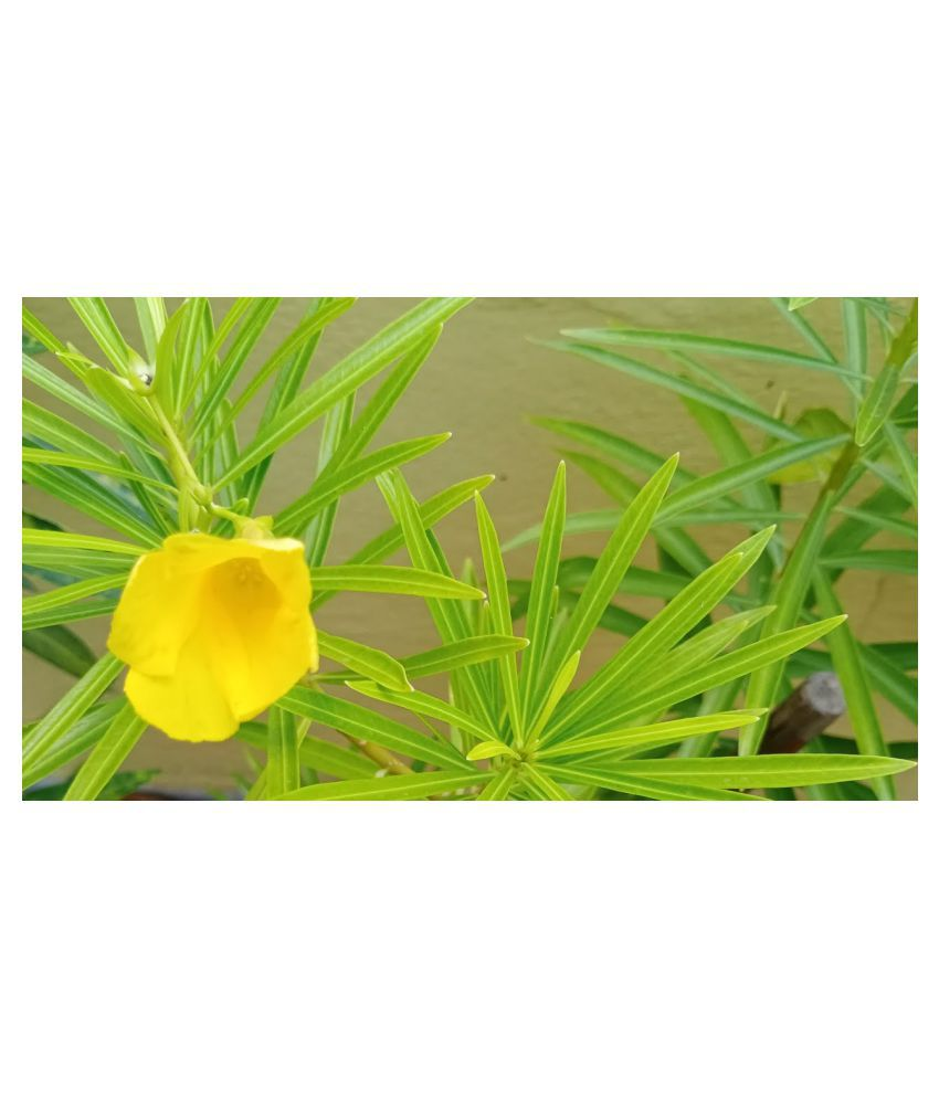 Kapebonavista Mexican oleander Peeli kaner plant Raw Herbs 1 no.s Pack Of 1