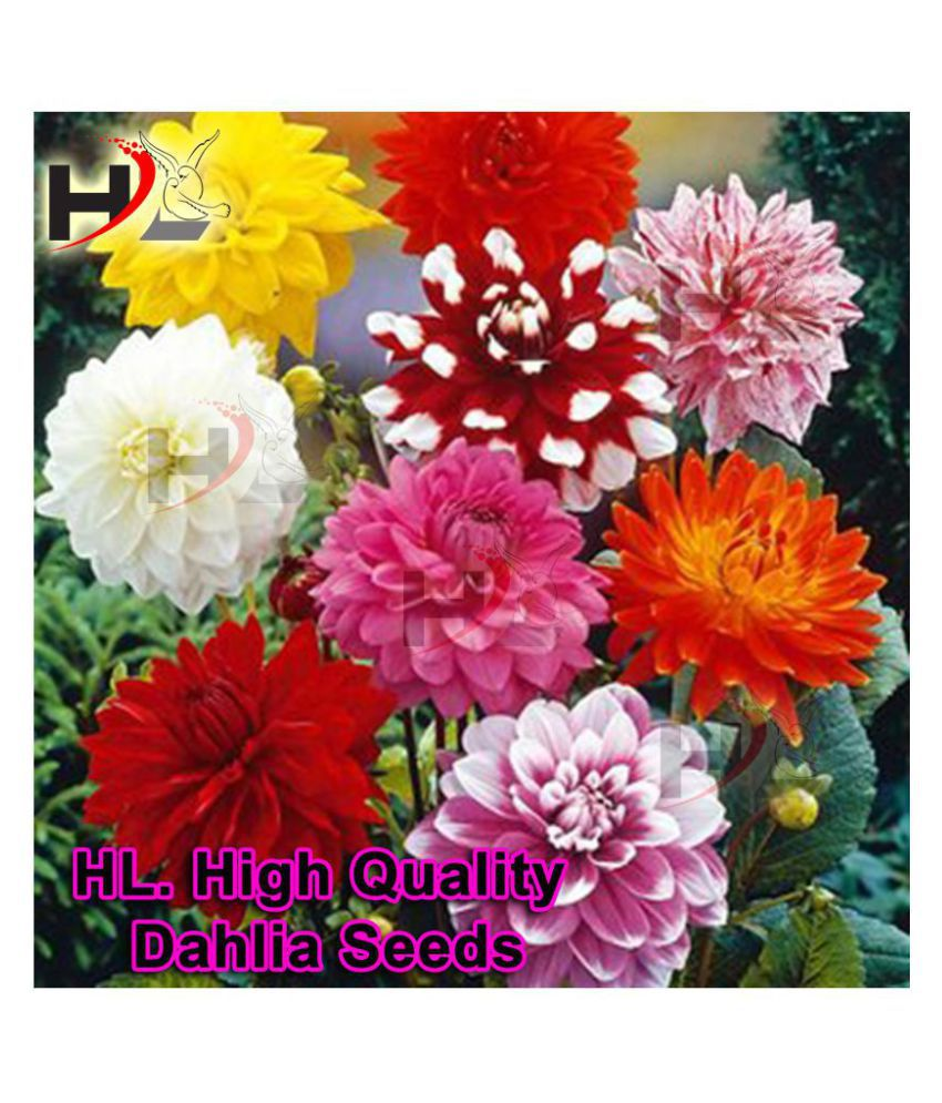 HL. Dahlia Hybrids Mixed Color - Dahlia Flower Seeds