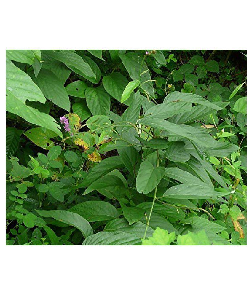 Kapebonavista Desmodium gangeticum sapling plant Raw Herbs 1 no.s Pack Of 1