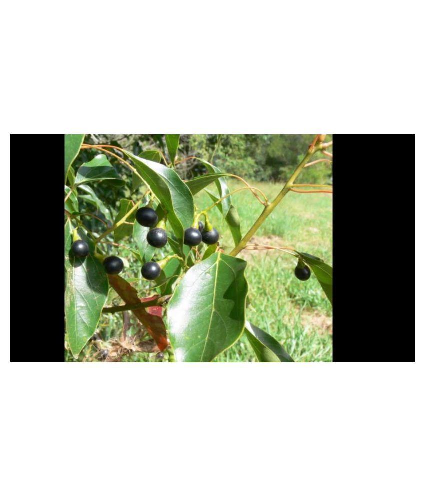 Kapebonavista Cinnamomum camphora plant in poly bag Raw Herbs 1 no.s Pack Of 1