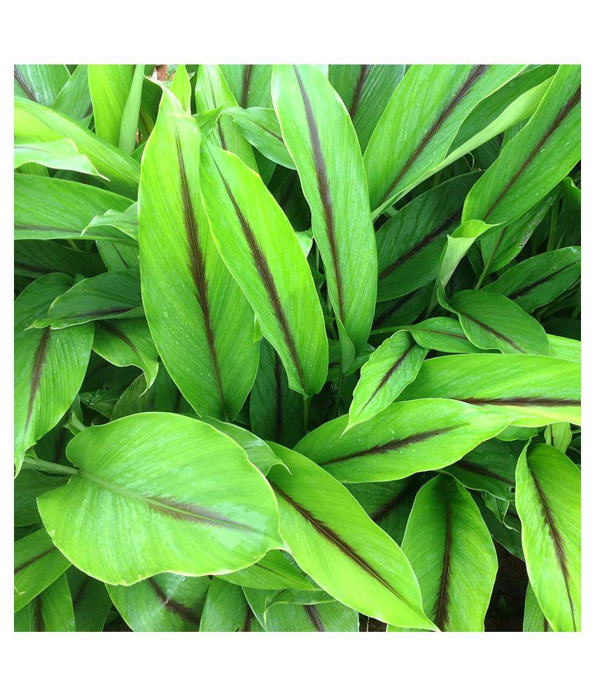 Kapebonavista Kali Haldi plant Raw Herbs 1 no.s Pack Of 1