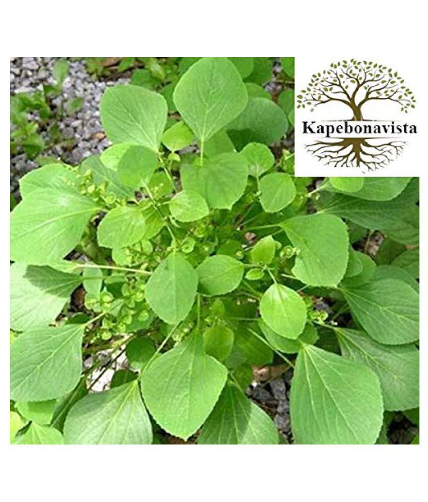 Kapebonavista Indian Copperleaf Kupi Kuppai plant Raw Herbs 1 no.s Pack Of 1
